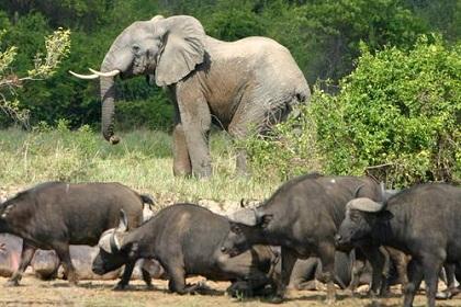 Elefantes e búfalos também são parte da fauna do parque Virunga / Wikimedia Commons