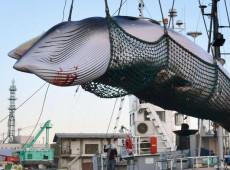 Japão retomará caça comercial de baleias em julho de 2019