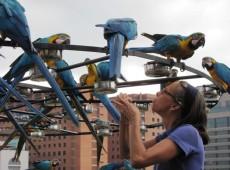 Em busca de alimento, araras frequentam sacadas de edifícios e conquistam moradores de Caracas
