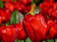 Hoje na História: 1637 – Preço de tulipas holandesas fazia estourar primeiro esboço de bolha especulativa